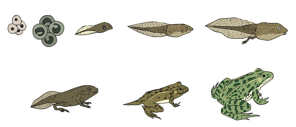 educatieve illustratie voor Noordhoff Uitgevers - metamorfose van een kikker in zeven stappen